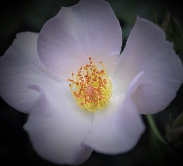 Pistils and Stamens with Shades of Lavender